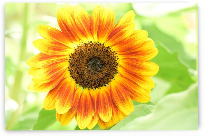 Bright Happy Sunflower Love by Michaela Scherr