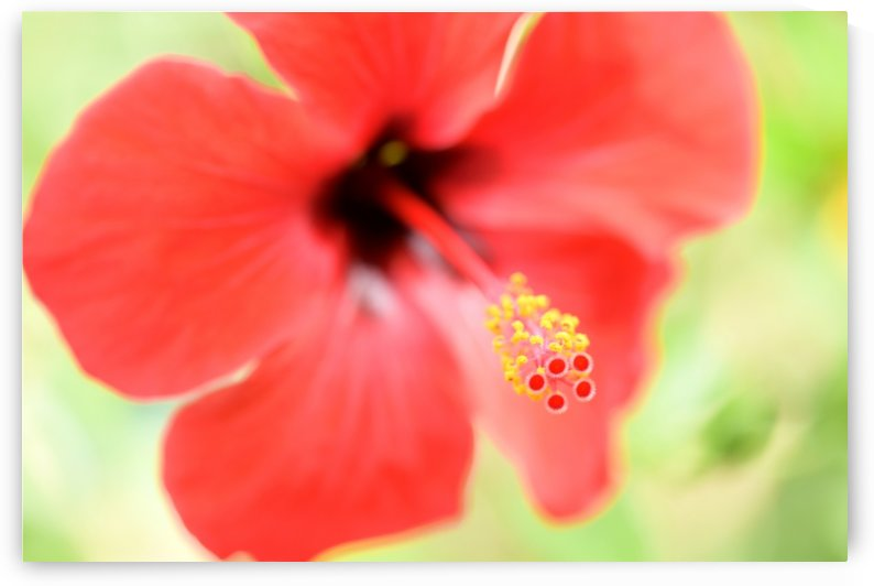 Soft Red Hibiscus Flower by Michaela Scherr