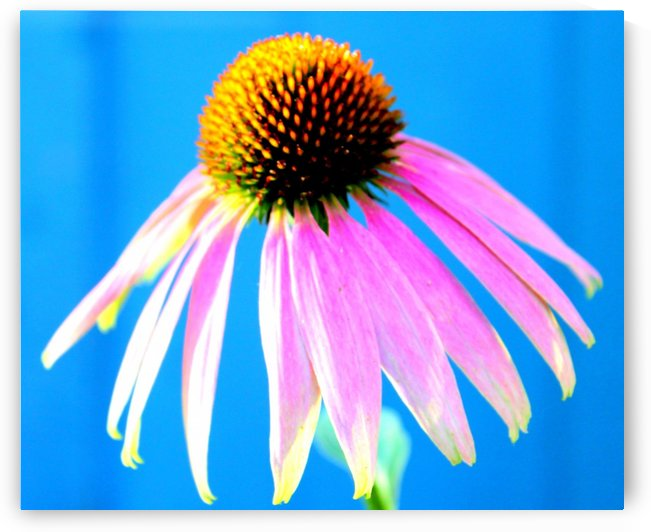 Cone flower by Natures Alchemy Captured