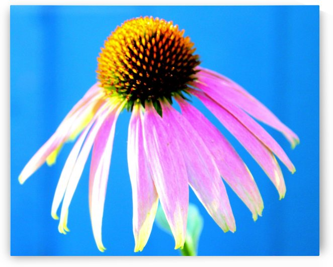Purple Coneflower Healing by Natures Alchemy Captured