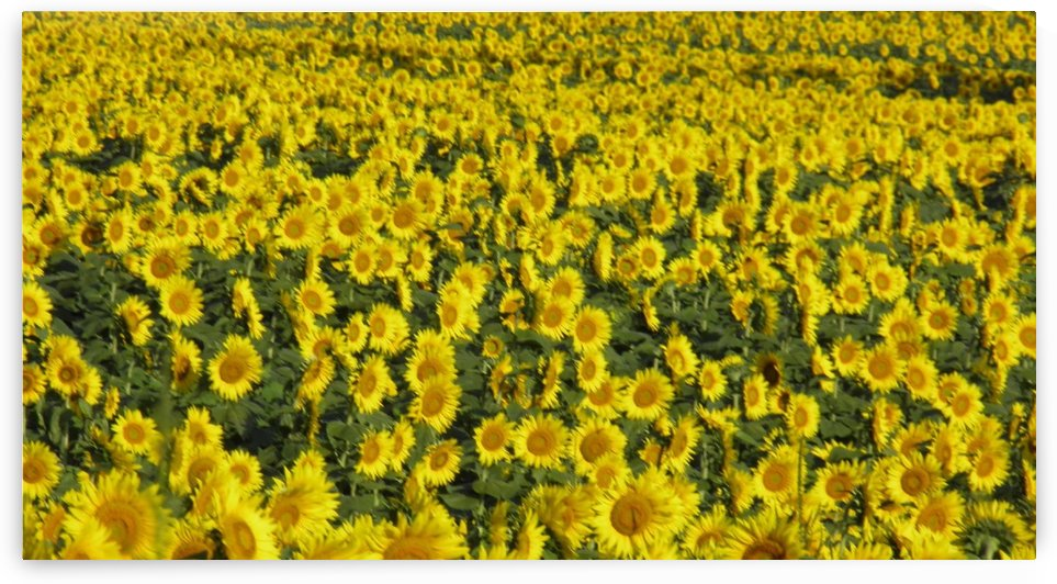 Sunflower Admiration by Natures Alchemy Captured
