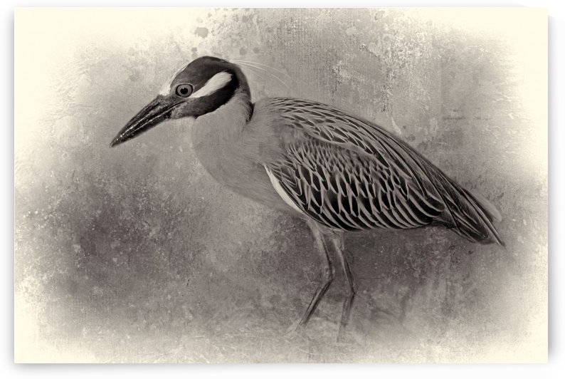 Yellow-crowned Night Heron BW  by HH Photography of Florida