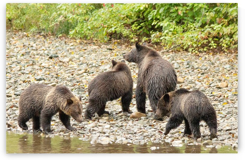 Family of Grizzly Bears by Duncan Jacob