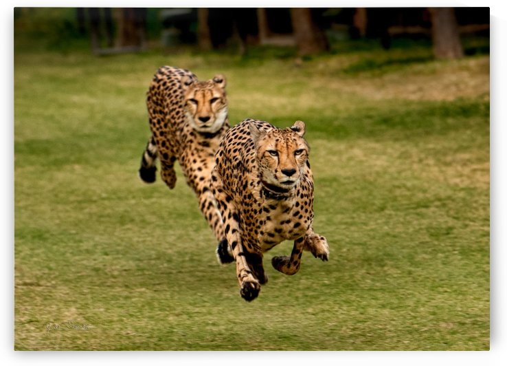 The Cheetah Brothers by Julian Starks Photography