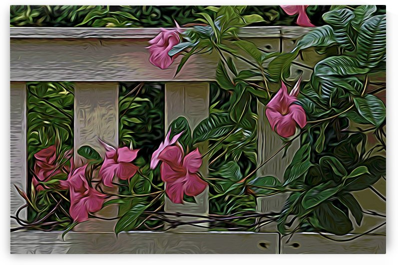 Pink Mandevilla Vine  by HH Photography of Florida