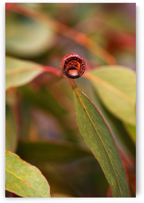 Eucalyptus Leaves And Gumnut by Joy Watson