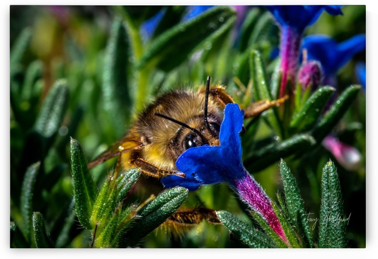 Bumble Bee   Hi Res   A3_1579657780.8007 by Tracy Abildgaard