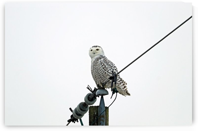Agitated Snowy Owl by Deb Oppermann