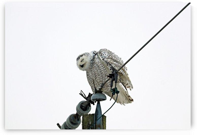 Snowy Owl Nod Off by Deb Oppermann