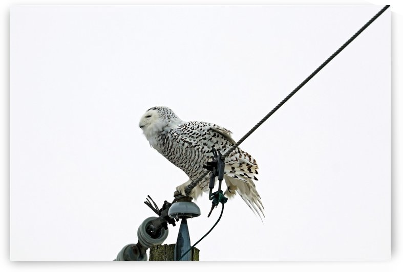 Snowy Owl Balancing Act by Deb Oppermann
