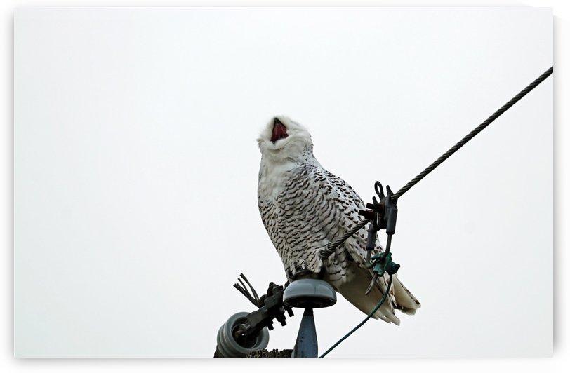 Theatrical Snowy Owl Yawn by Deb Oppermann