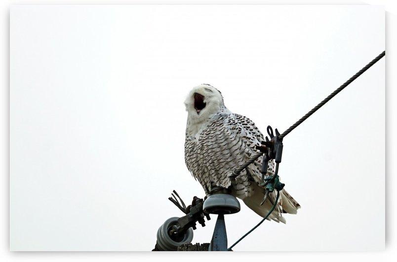 Yawning Snowy Owl by Deb Oppermann