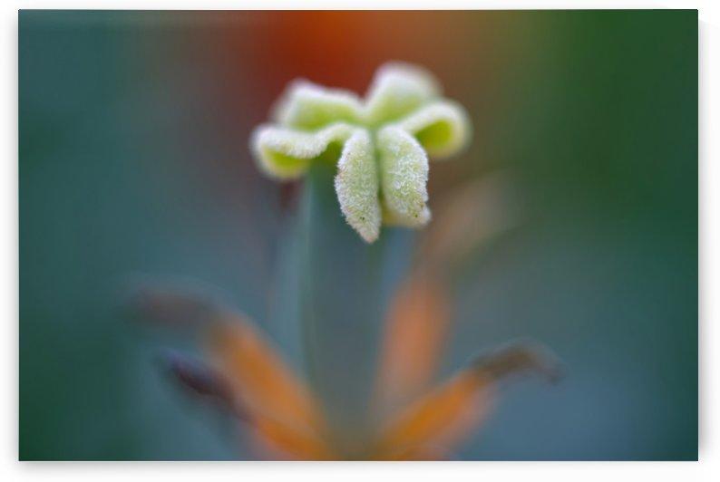 Faded Tulip by MirkwoodPhoto