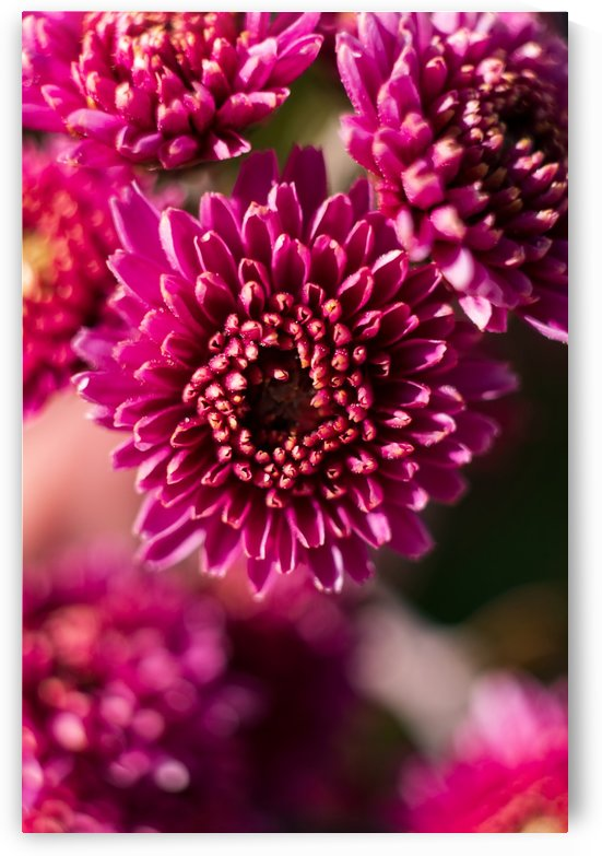Chrysanthemum Variation II by MirkwoodPhoto