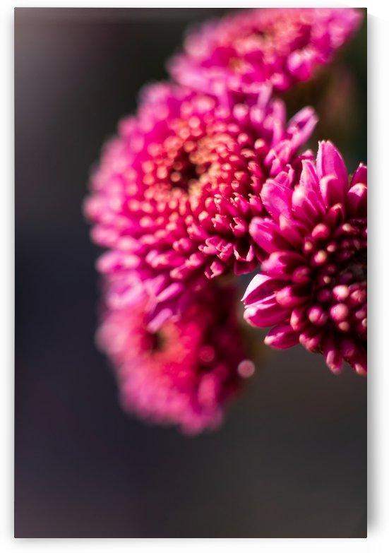 Chrysanthemum Variation I by MirkwoodPhoto