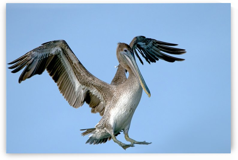 Arriving: Brown Pelican  2509 by Matthew Lerman