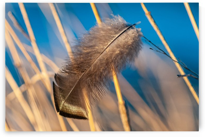 Turkey Feather Snagged In The Wind by Garald Horst