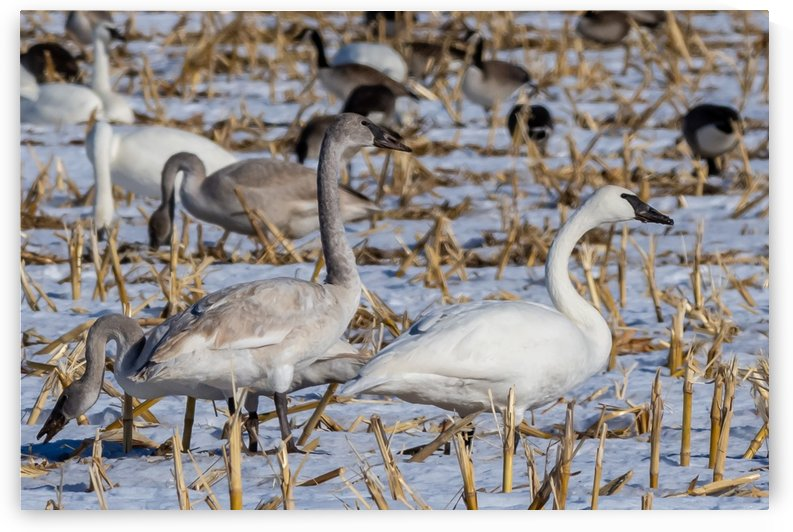 Cygnets And Adult Trumpeter Swans by Garald Horst