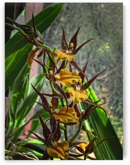 Hawaiian Orchids  by Aurelia Schanzenbacher Sisters Fine Arts
