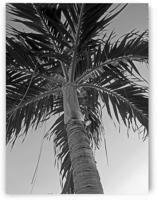 Sunset Palm Tree B&W by Gods Eye Candy