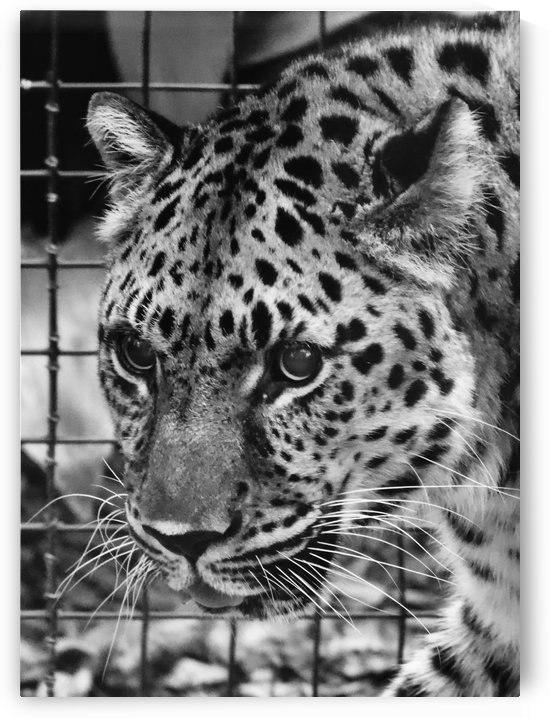 Leopard in Black & White by Connie Maher