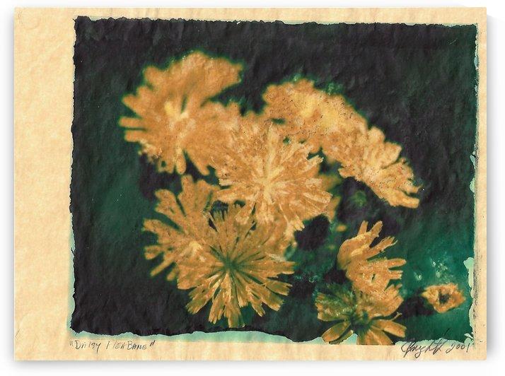 Daisy fleabane by Jon Knight Loruenser
