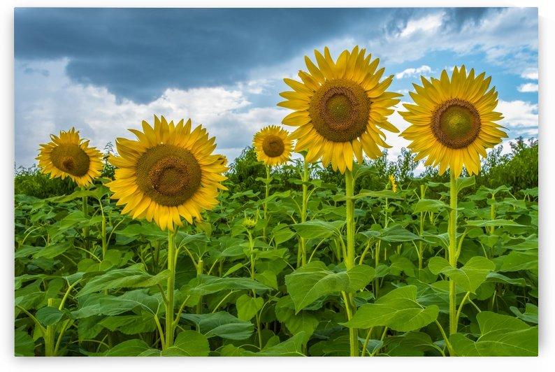 Sunflower Field by Bob Kofman