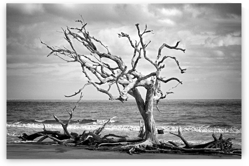 Driftwood Beach Lone Tree in Black and White by Bill Swartwout Photography