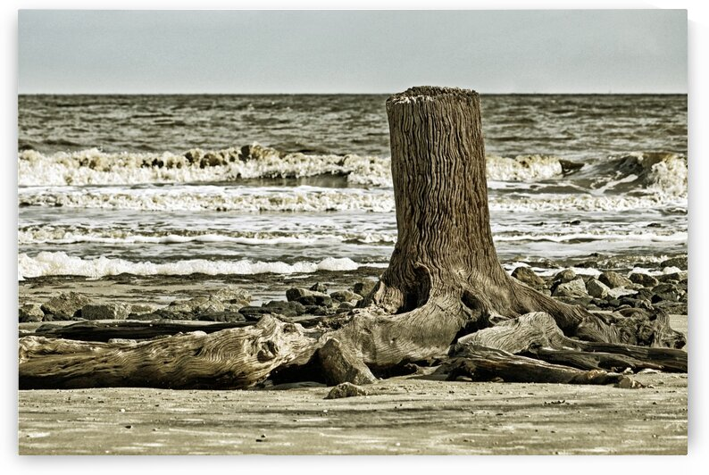 Driftwood Beach Post Blackgold by Bill Swartwout Photography