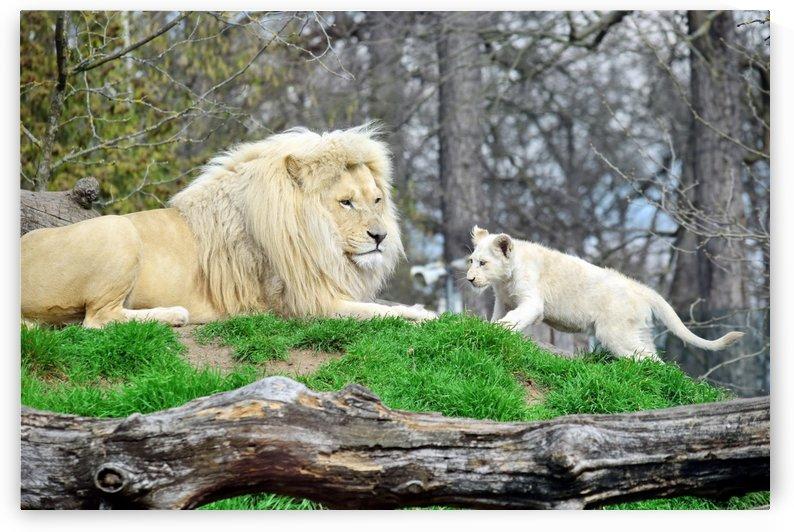 White Lion with Baby by Kikkia Jackson