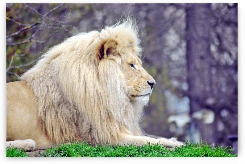 White Lion Portrait by Kikkia Jackson