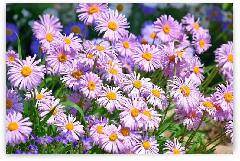 Daises Pink Flowers by Kikkia Jackson