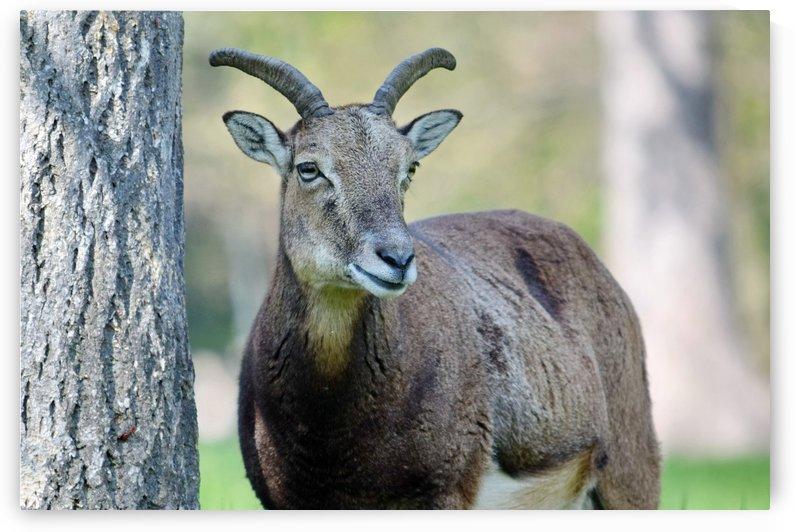 Mouflon in the Forest Portrait by Kikkia Jackson