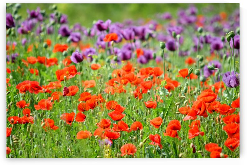Floral Red and Violet Poppy Field  by Kikkia Jackson