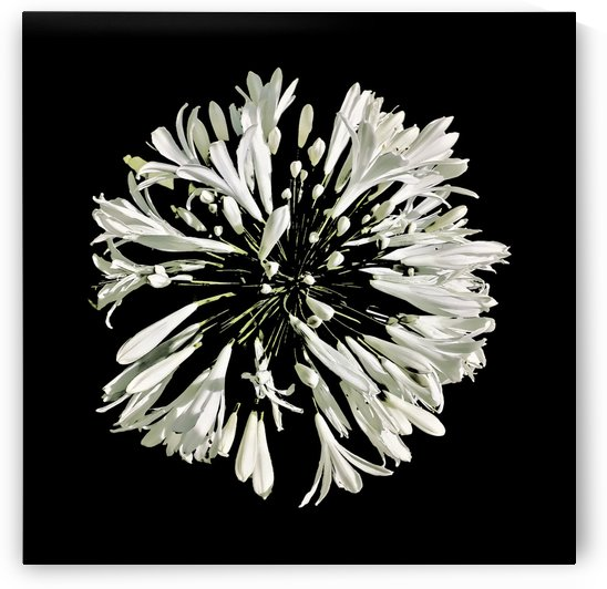 Top View White Stylized Radial Flower Isolated Photo by Daniel Ferreia Leites Ciccarino