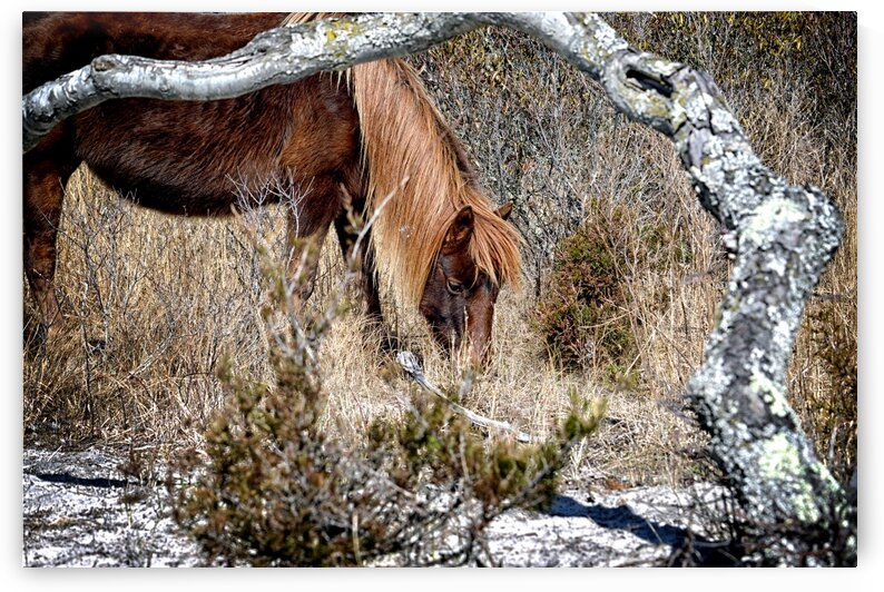 Assateague Pony Go Go Bones Forages for Lunch by Bill Swartwout Photography