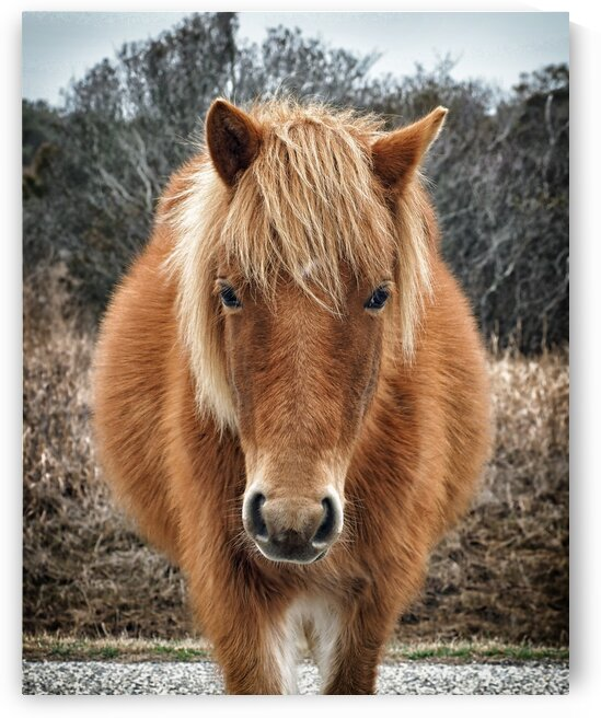 Assateague Horse Miekes NoeLani by Bill Swartwout Photography
