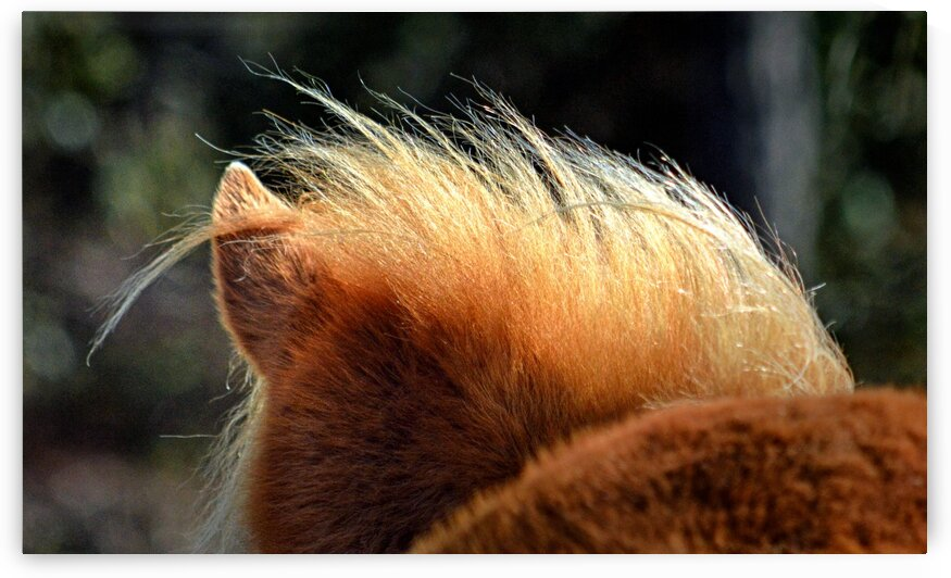Assateague Pony Hairdo by Bill Swartwout Photography