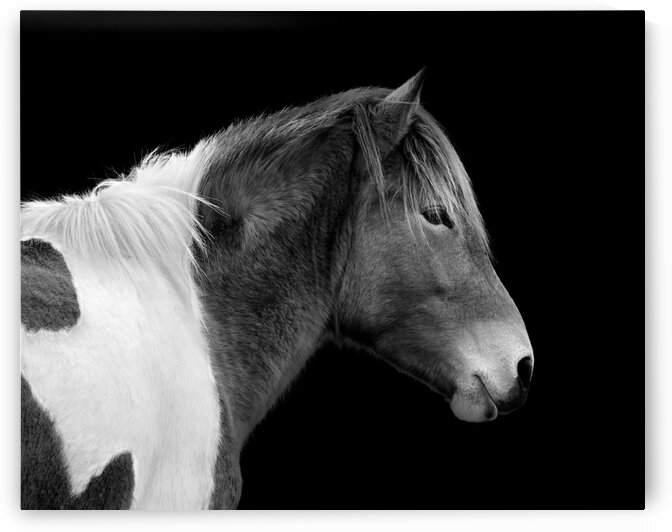 Assateague Pony Susi Sole Black And White Portrait by Bill Swartwout Photography