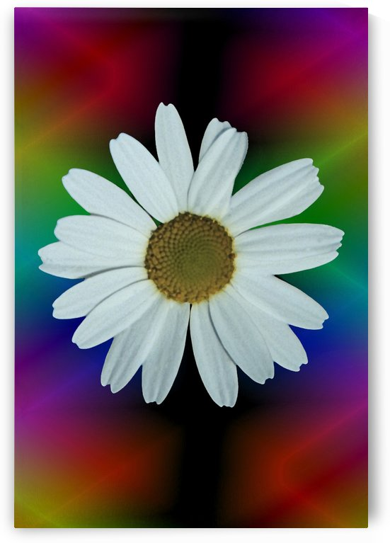 Shasta Daisy Bloom In Psychedelic Lights by ImagesAsArt By John Louis Benzin