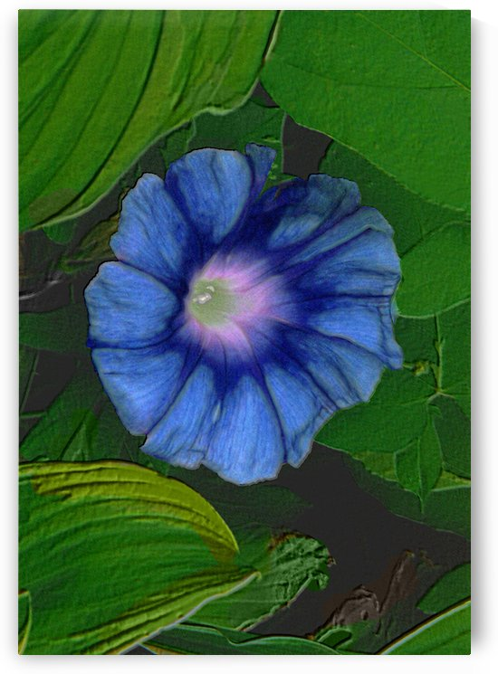 Morning Glory Blue Bloom Among Hosta Leaves by ImagesAsArt By John Louis Benzin