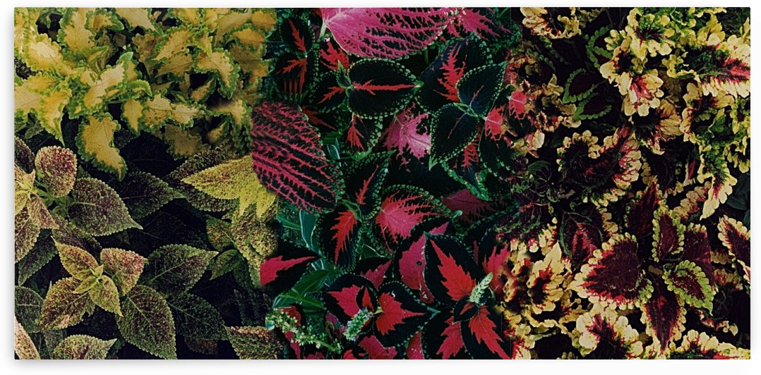 Colorful Leaves Of Tropical Coleus Plants  by ImagesAsArt By John Louis Benzin