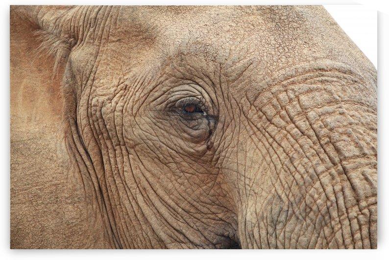 Elephant Portrait 647 by Thula-Photography
