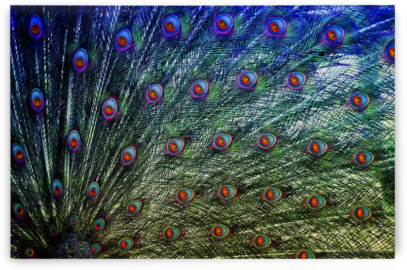 peacock feathers colorful feather by Shamudy
