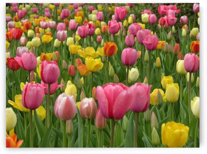 Beautiful Tulips Photography by Katherine Lindsey Photography