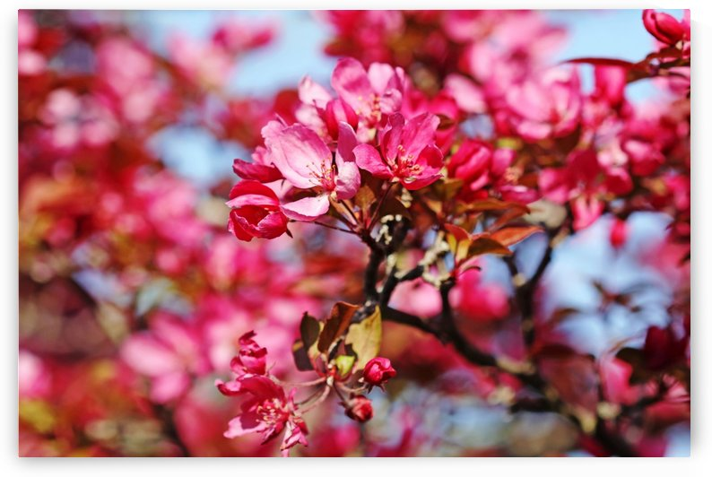 Crabapple Pink by Deb Oppermann
