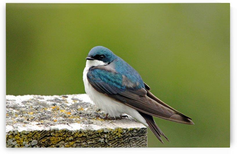 Tree Swallow On Wood by Deb Oppermann