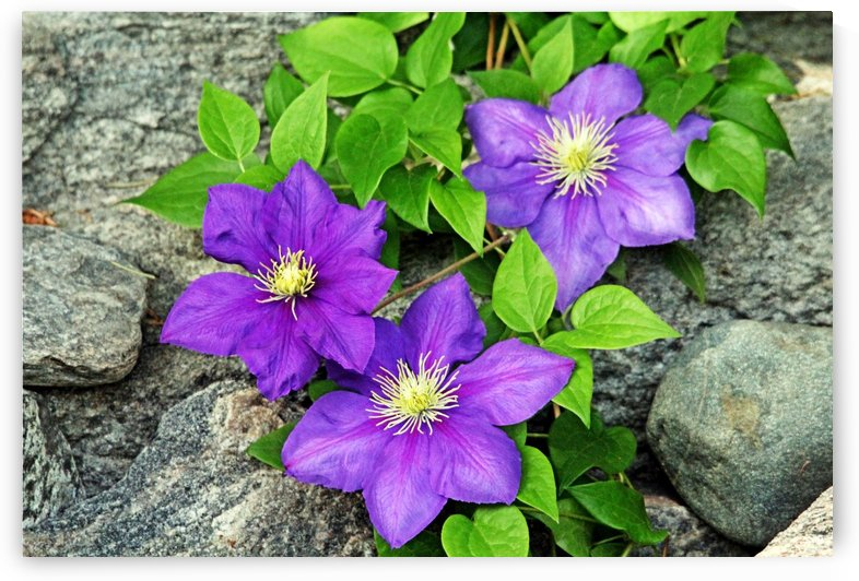 Purple Clematis On The Rocks by Deb Oppermann