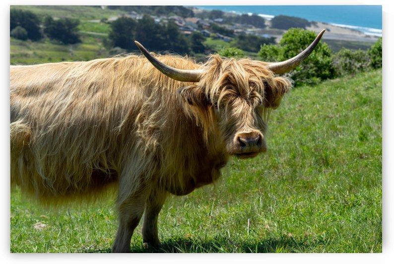 Coastal Cow by Heather Huerta