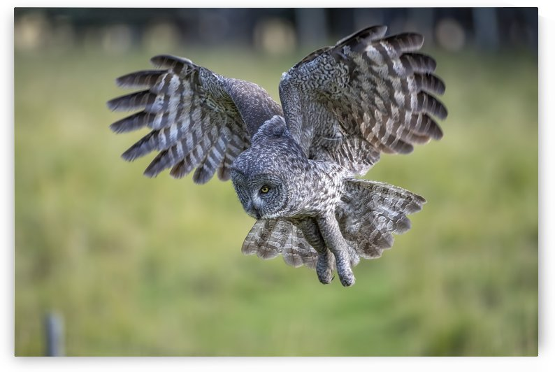 Great Grey Owl - Incoming by Ken Anderson Photography